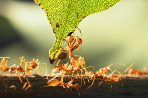 gros-plan-travail-equipe-fourmi-rouge-debout-feuille-verte_34152-871(1)